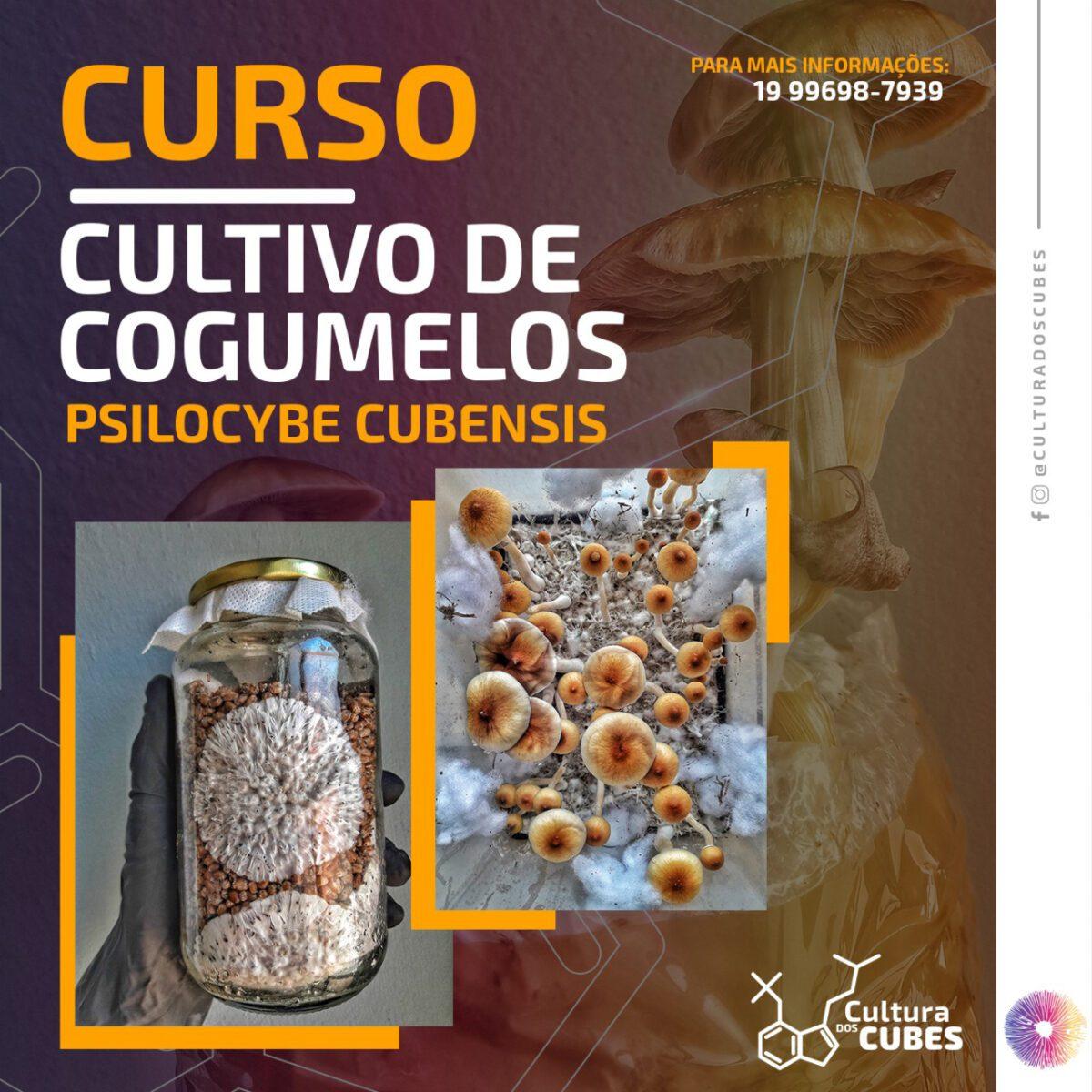 Curso de cultivo Psilocybe cubensis cultura dos cubes