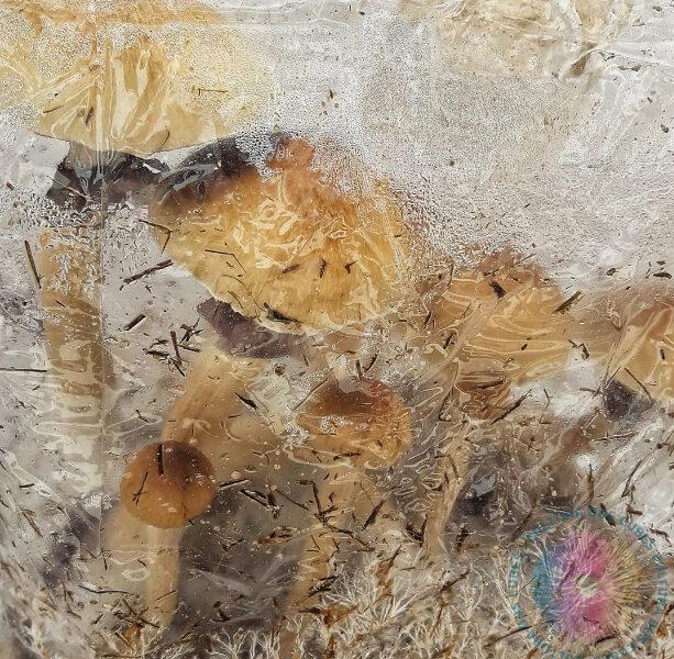 Cogumelos Mágicos Psilocybe Cubensis