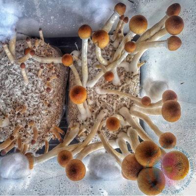 cultivo de cogumelos psilocybe cubensis