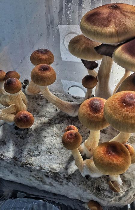 psilocybe cubensis - cultivo de cogumelos