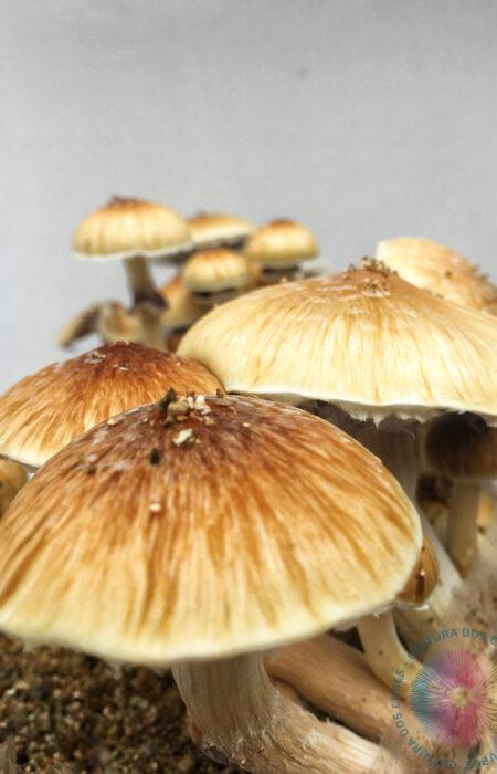 comprar cogumelos mágicos psilocybe cubensis