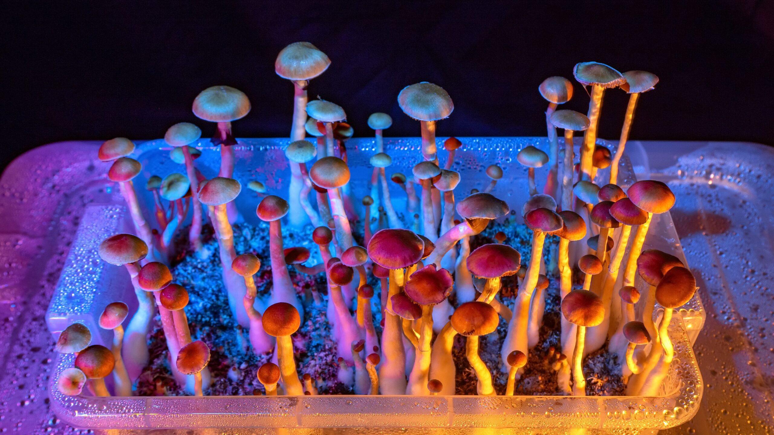 O que são cogumelos mágicos e psilocibina
