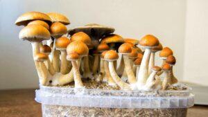 Cogumelos Alucinogenos Cultura dos Cubes